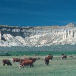 Herefords in a Colorado Pasture