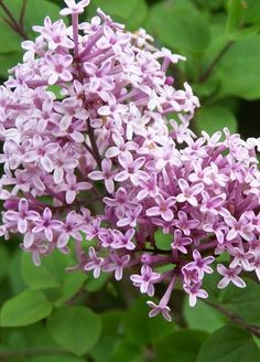 Image result for image of lilac, syringa, colostate